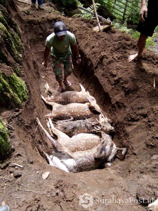 Rusa tutul milik Perhutani mati setelah dimangsa hewan buas.